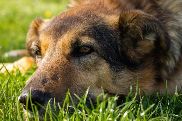 Un bon chien pensif, hors-race, se trouve sur l'herbe et est triste.