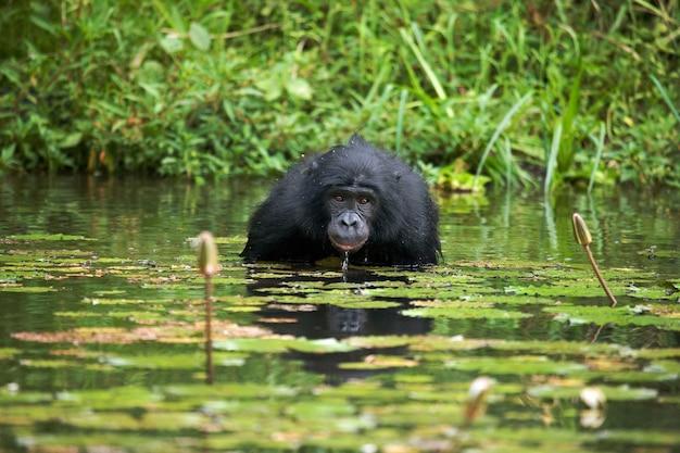 Bonobo est assis à l'étang. république démocratique du congo. parc national de lola ya bonobo.