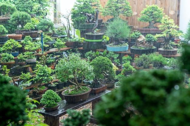 Les bonsaï du collectionneur gagnent de la pluie.