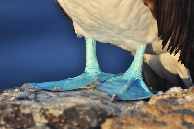 Boobie aux pieds bleus