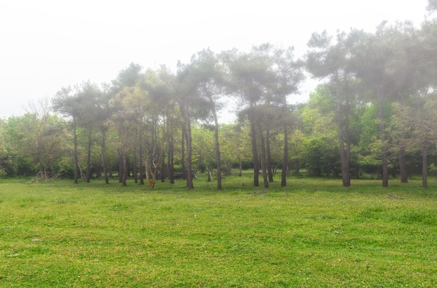Bord de forêt, pins dans le brouillard