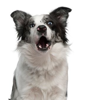 Border collie, 10 mois, aboyant. portrait de chien isolé