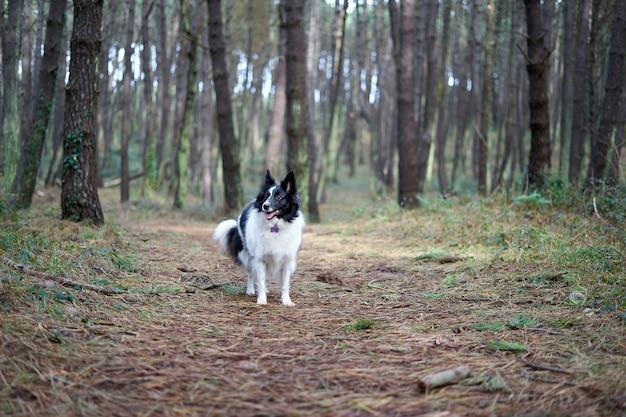 Border collie blanc et noir dans un paysage forestier