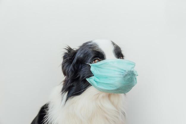 Border collie chien malade ou contagieux portant un masque médical chirurgical de protection isolé sur blanc