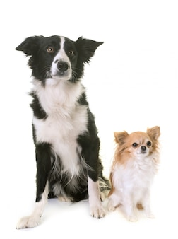 Border collie et chihuahua
