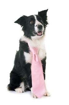 Border collie et cravate