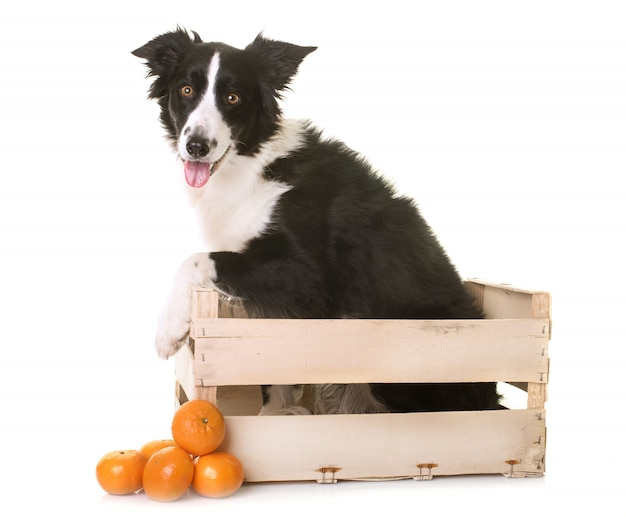 Border collie dans caisse