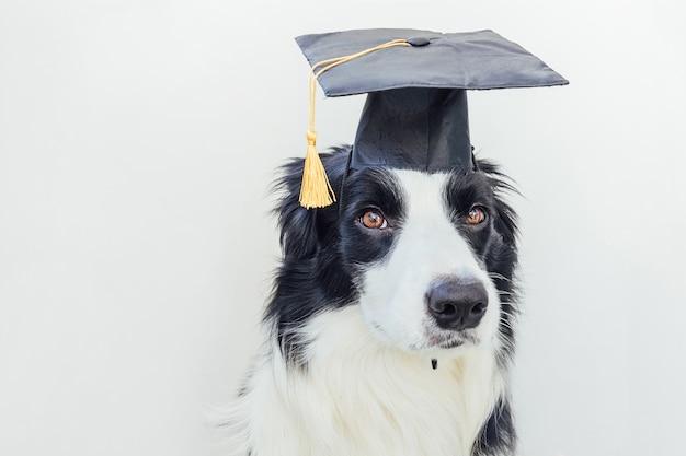 Border collie drôle de chien de graduation fier avec chapeau de diplômé comique isolé sur fond blanc. petit chien en chapeau de graduation comme professeur étudiant. retour à l'école. style de nerd cool, animal de compagnie drôle