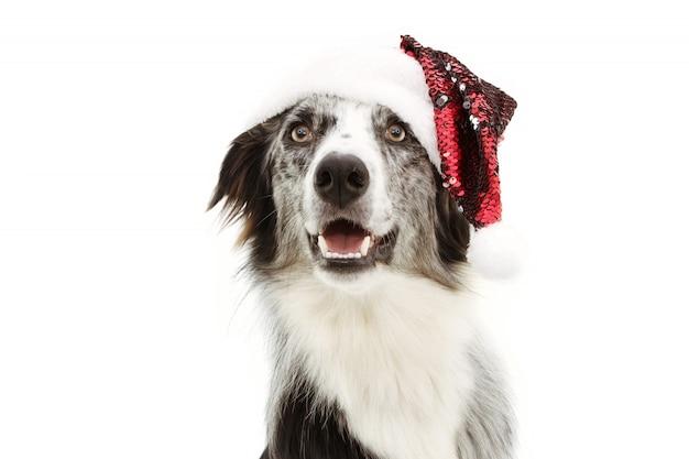 Border collie heureux fête noël avec un chapeau de père noël rouge isolé sur blanc