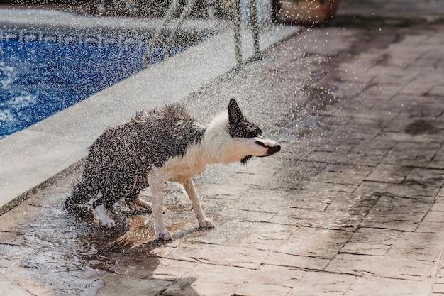 Border collie noir et blanc un mignon chien jouant à la piscine et s'amuser pendant les vacances d'été. secouer l'eau et faire voler des gouttes d'eau à la lumière du soleil. concept d'été