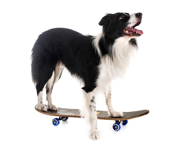Border collie et skateboard
