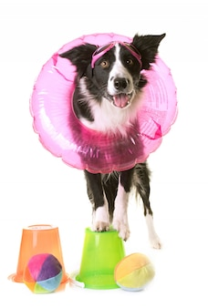 Border collie en vacances