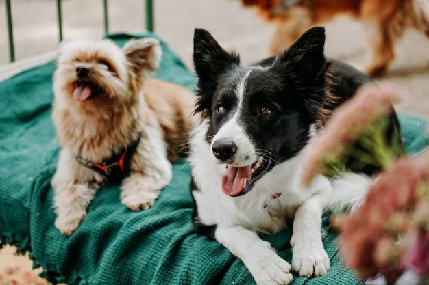 Border collie et yorkshire terrier se trouvent sur une chaise longue verte. espace détente pour animal de compagnie