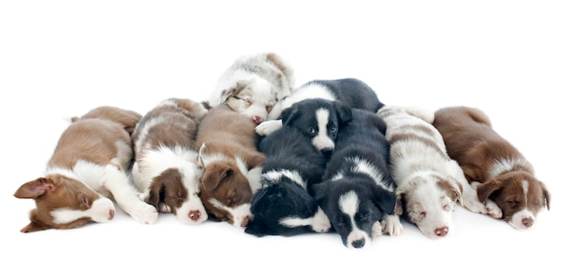 Border collies de chiots