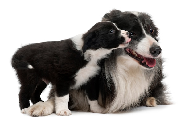 Border collies interagissant