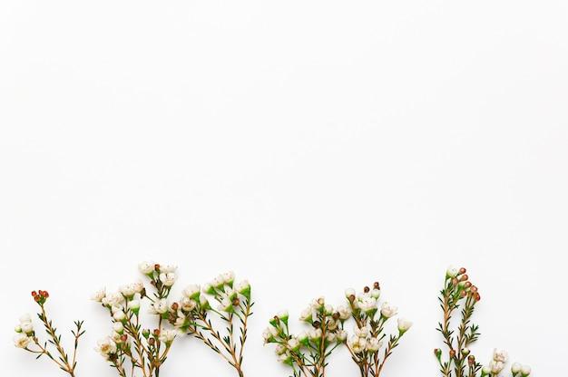 Bordure naturelle de fleur de geraldton sur fond vide blanc