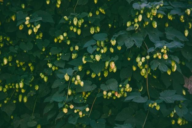 Les bosquets de houblon vert avec des cônes