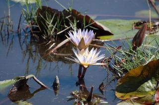 Botswana fleurs, violet
