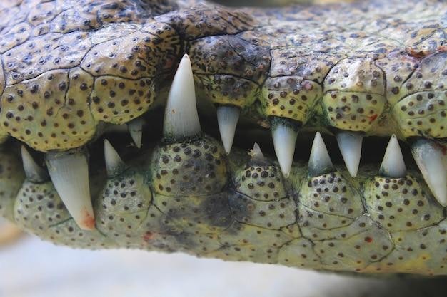 Bouche et dents un crocodile