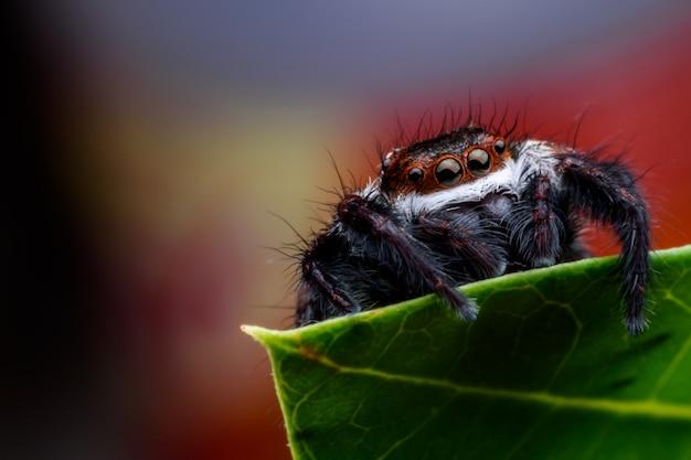 Bouchent araignée sauteuse sur feuille verte