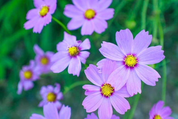 Bouchent la belle fleur de soufre rose cosmos
