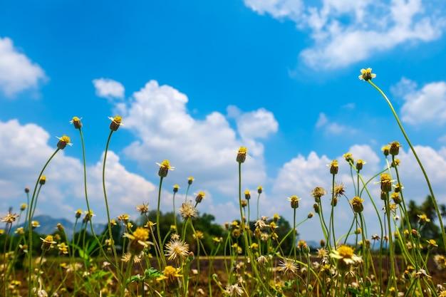 Bouchent les boutons de manteau fleur et bleu ciel nuageux. beau temps et paysage agricole avec fleur de prairie. copie espace.