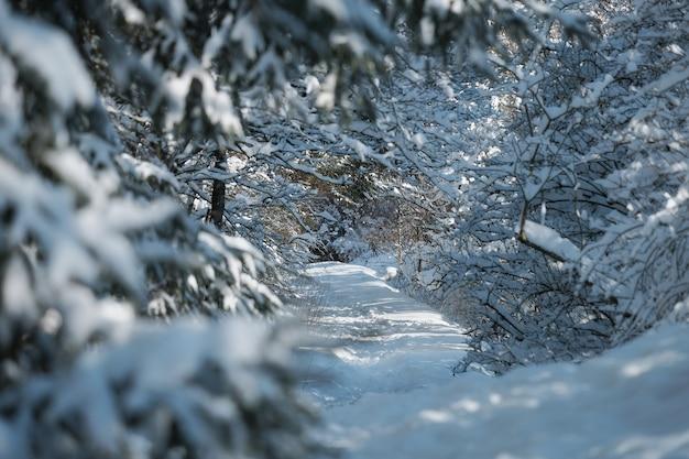 Bouchent la branche de sapin dans la neige en forêt