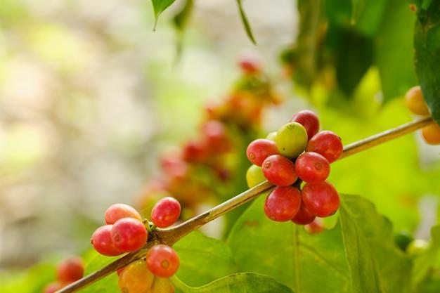 Bouchent le café en grains dans la nature