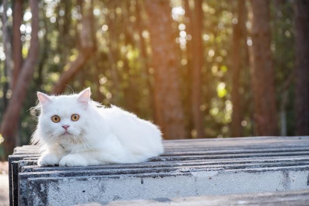 Bouchent chat persan blanc, en plein air, nature