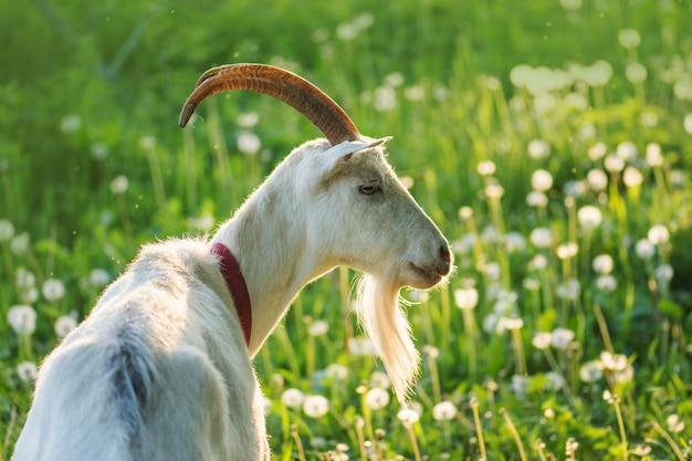 Bouchent la chèvre dans la ferme sur l'herbe verte. chèvre blanche à cornes