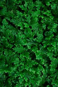 Bouchent la couleur verte des feuilles de fougère