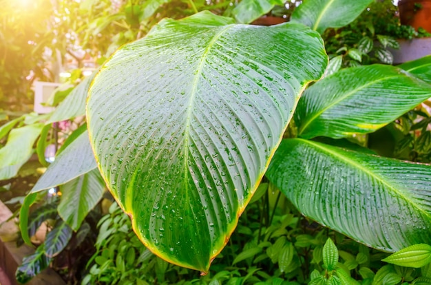 Bouchent les feuilles de canne muette ou dieffenbachia, calathea- nature, motif de contraste sur les feuilles.