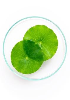 Bouchent les feuilles de centella asiatica avec une goutte de pluie dans une boîte de pétri isolée sur la vue de dessus de fond blanc.