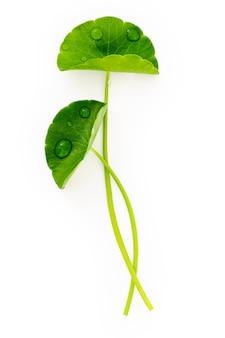 Bouchent les feuilles de centella asiatica avec des gouttes de pluie isolées sur la vue de dessus de fond blanc.