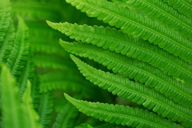 Bouchent les feuilles de fougère verte