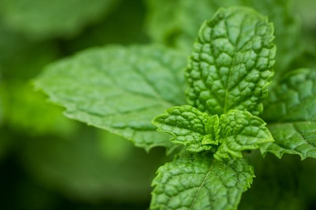 Bouchent les feuilles de menthe poivrée verte. menthe fraîche.