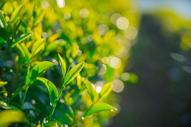 Bouchent les feuilles de thé vert frais dans la forêt du matin et le parc naturel vert