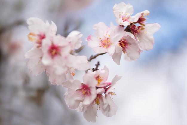 Bouchent la fleur d'amandier. peu profond de champ, mise au point sélective.