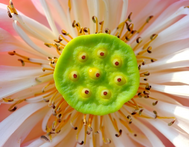 Bouchent la fleur de lotus