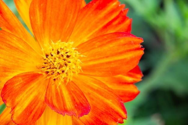 Bouchent les fleurs de cosmos dans le jardin.