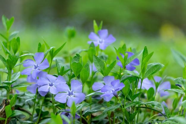 Bouchent les fleurs de pervenche qui poussent dans le pré