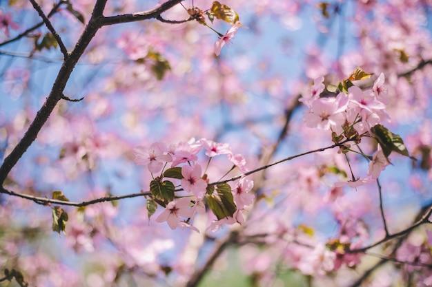 Bouchent les fleurs de sakura, fleur de cerisier, cerisier sur fond de ciel bleu flou