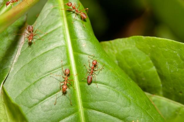 Bouchent la fourmi rouge foule sur une feuille verte dans la nature à la thaïlande