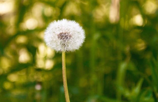 Bouchent les graines de pissenlit dans la lumière du soleil du matin sur le vert