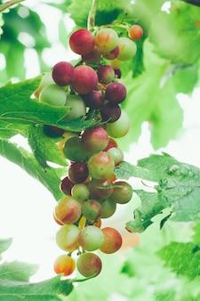 Bouchent la grappe de raisins sucrés dans le jardin