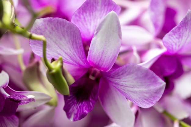 Bouchent les hybrides d'orchidées dendrobium dans le jardin