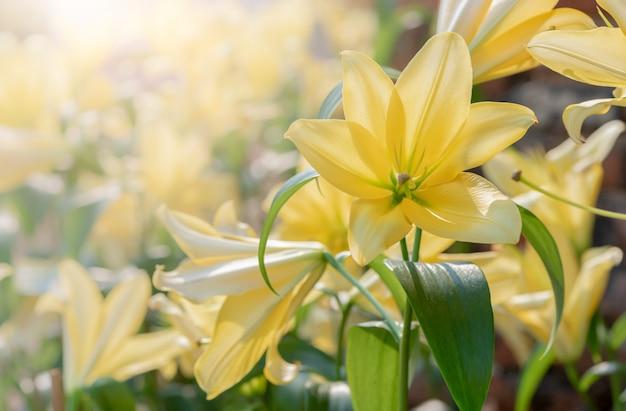Bouchent lilly jaune en fleurs dans le jardin