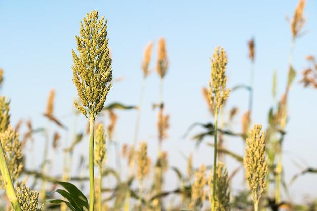 Bouchent le millet ou le sorgho dans un champ