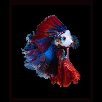 Bouchent le mouvement de l'art du poisson betta ou du poisson de combat siamois isolé sur noir