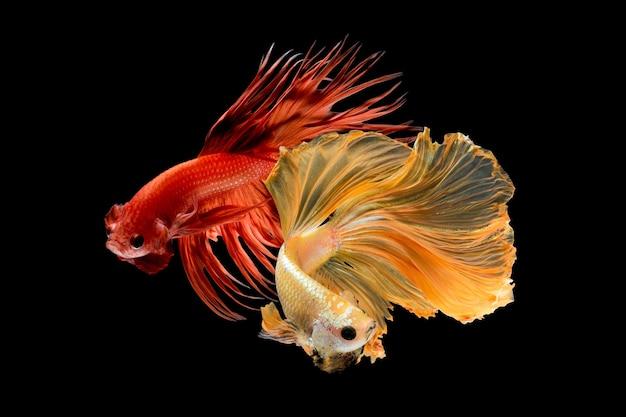 Bouchent le mouvement de l'art du poisson betta, poisson de combat siamois isolé sur fond noir.concept de design d'art fin.
